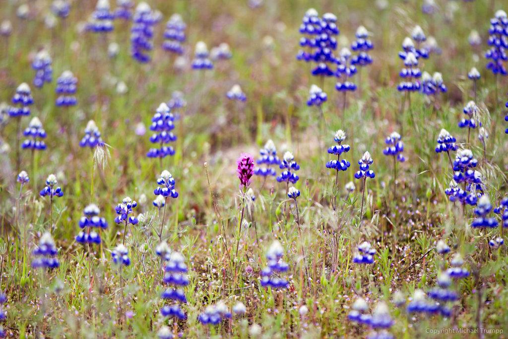 Spring Flowers near Yosemite NP