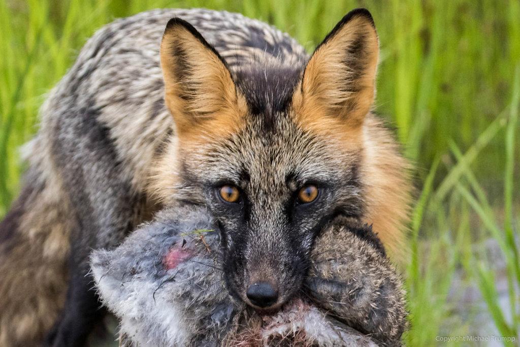 Fox got itself a little bunny