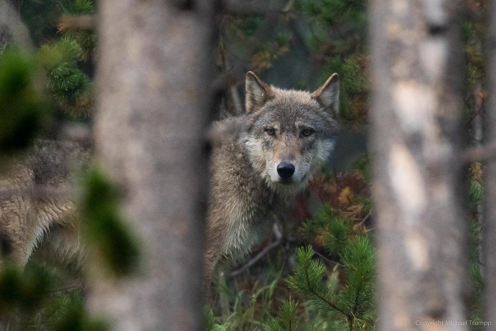 Finally I found a wolf!