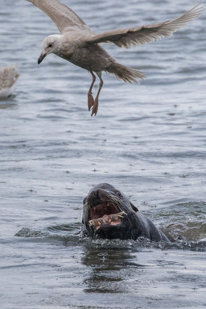 Seal fighting a seagull at La Push at Rivers Edge Restaurant