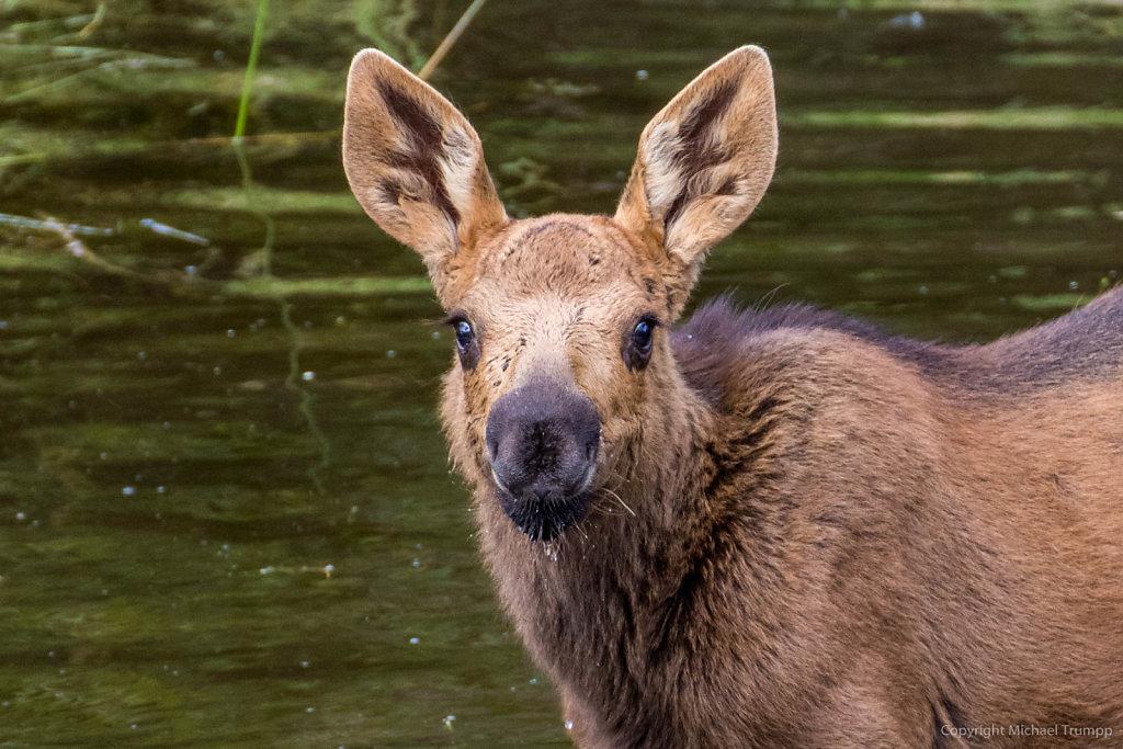 Moose calve